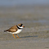 Semi-palmated Plover- Figure Eight Island, NC