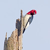 Red-headed Woodpecker - Carolina Beach State Park, NC