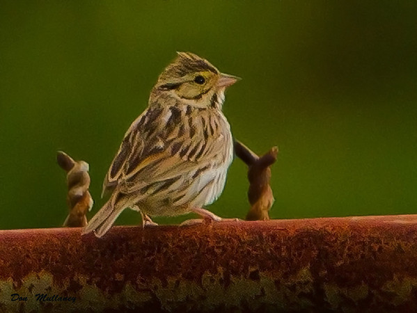Savannah Sparrow - Ft. Fisher
