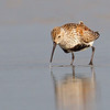 Dunlin in breeding plumage - Figure Eight Island, NC