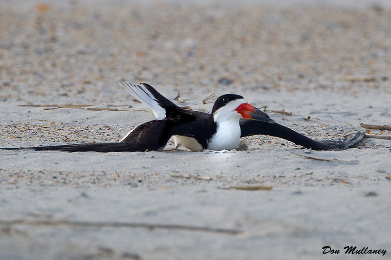 The Black Skimmer acting it out. -  Wrightsville Beach, NC