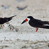Two adults, three chicks and one egg - Wrightsville Beach, NC