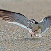 I watched this gruesome scene for some time. This lost tern chick wandered into the Black Skimmer nesting area and was set upon, tossed around, until it was dead. - Wrightsville Beach, NC