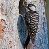 A female Red-cockaded Woodpecker feeding the chicks - Holley Shelter Gameland, Hampstead, NC
