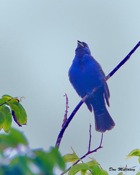 Blue Grosbeak calling - Ft.Fisher