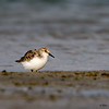Sanderling- Figure Eight Island, NC