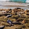 Elephant Seals at Piedras Blancas Rookery, on the San Simeon Coast, California