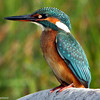 "<center>Alcedo Atthis <font size=""1"">Martín Pescador Kingfisher  <i>clic en la foto para ampliar · click in the image to enlarge"