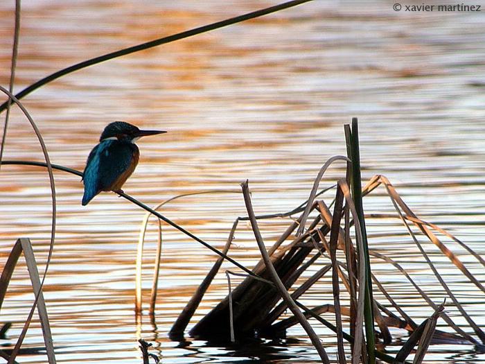 "<center>Alcedo Atthis <font size=""1"">Martín Pescador Kingfisher  <i>clic en la foto para ampliar · click in the image to enlarge"