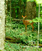 Deep Woods Fawn  Where is your mommy, little deep woods fawn.  Keep her near that you may learn for tomorrow.