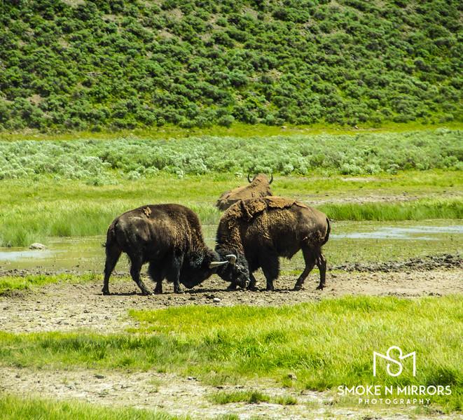 Bison Bison Brawl