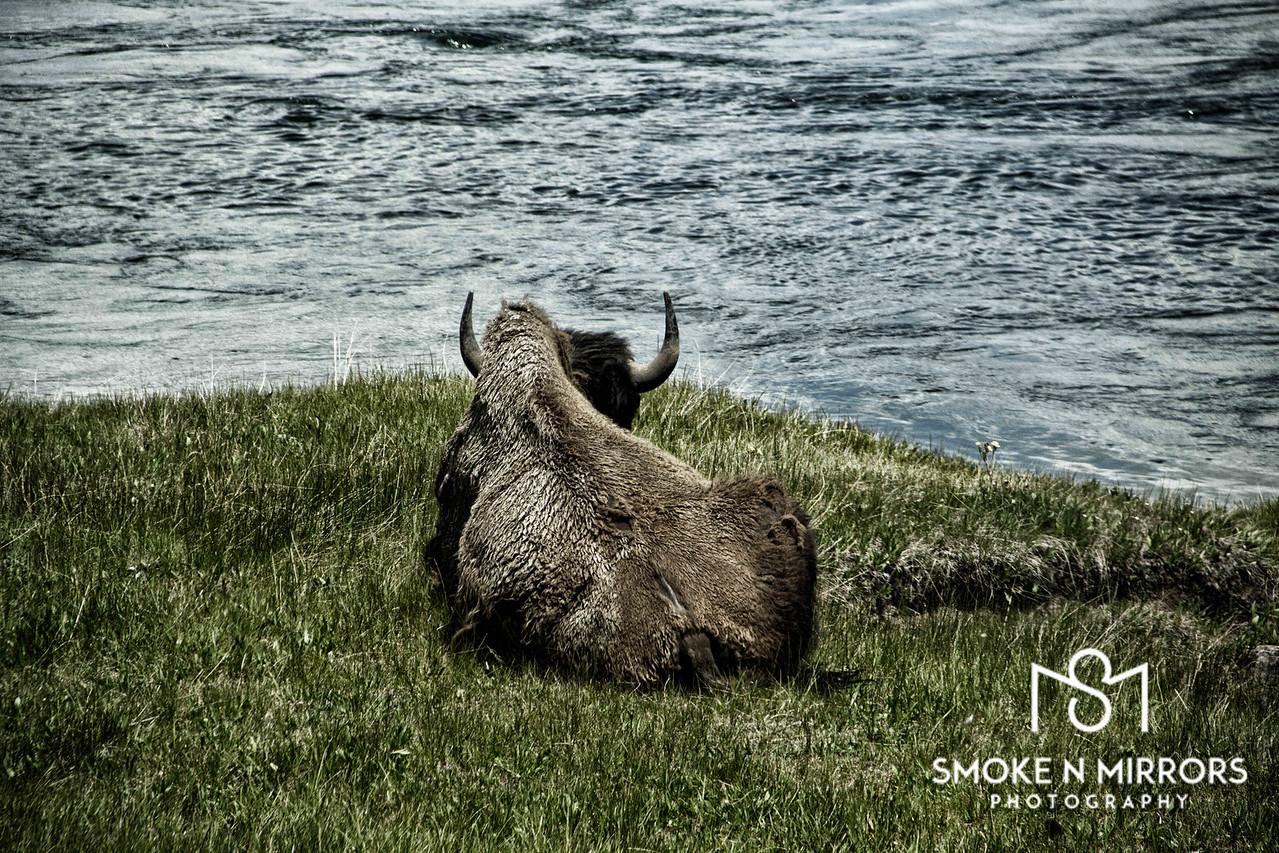 B3 Basking Bison Bison