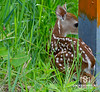 No Hunting<br /> <br /> Do you suppose this little fawn can read?  As it crossed the road it paused underneath this moniker to hide as the approaching truck passed on its way.
