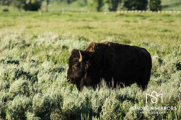 Free Range Bison Bison