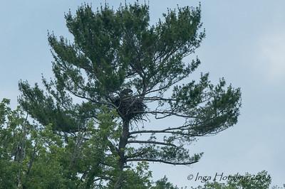 Bald Eagle nest - Otsego Lake, NY