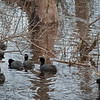 American Coots in stream along Red Mill Drive.  Part of Mingo National Wildlife Refuge.