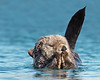 """This photograph of a Sea Otter was captured in Kenai Fjords National Park, Alaska (8/13).   <font color=""""RED""""><h5>This photograph is protected by the U.S. Copyright Laws and shall not to be downloaded or reproduced by any means without the formal written permission of Ken Conger Photography.<font color=""""RED""""></font></h5></font>"""