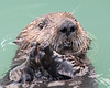 "This photograph of a Sea Otter was captured in Lake Clark National Park, Alaska (8/15). <font color=""RED""><h5>This photograph is protected by International and U.S. Copyright Laws and shall not to be downloaded or reproduced by any means without the formal written permission of Ken Conger Photography.<font color=""RED""></font></h5></font>"
