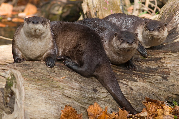 This photograph of some otters was captured in Great Smoky National Park (10/07).  Doing a day hike on along stream in the park and observed this otter family unit playing.  At one point the group decided to groom on top of a log.  When they all looked up at one time I captured this image.