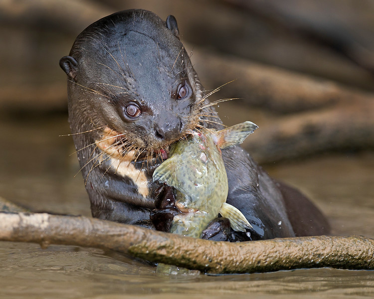 """This photograph of a Giant River Otter enjoying a freshly caught fish was captured in the Pantanal, Brazil (8/11).  <font color=""""RED""""><h5>This photograph is protected by the U.S. Copyright Laws and shall not to be downloaded or reproduced by any means without the formal written permission of Ken Conger Photography.<font color=""""RED""""></font></h5></font>"""