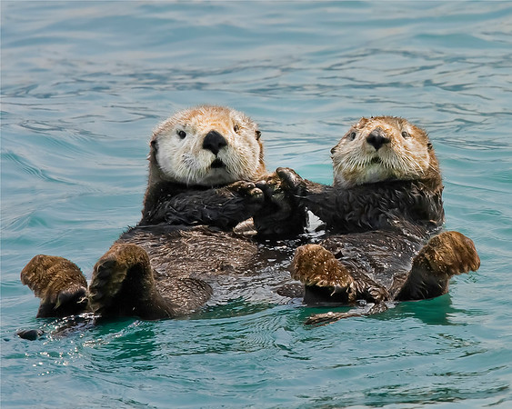 Kenai Fjords National Park Sea Otters holding hands
