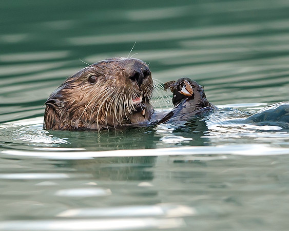 This photograph of a Sea Otter was captured in Lake Clark National Park, Alaska (8/15). This photograph is protected by International and U.S. Copyright Laws and shall not to be downloaded or reproduced by any means without the formal written permission of Ken Conger Photography.