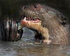 "This photograph of a Giant Otter eating a fish was captured in the Pantanal area of Brazil (8/12).  <font color=""RED""><h5>This photograph is protected by the U.S. Copyright Laws and shall not to be downloaded or reproduced by any means without the formal written permission of Ken Conger Photography.<font color=""RED""></font></h5></font>"