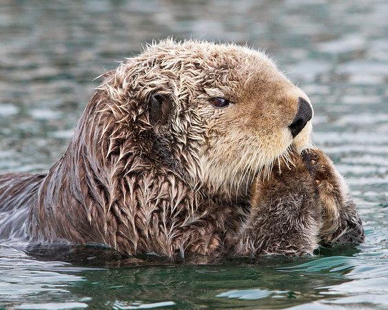 This photograph of a Sea Otter was captured in Kenai Fjords National Park, Alaska (8/13).   This photograph is protected by the U.S. Copyright Laws and shall not to be downloaded or reproduced by any means without the formal written permission of Ken Conger Photography.