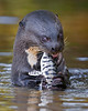 "This photograph of a Giant River Otter enjoying a freshly caught Pintado was captured in the Pantanal, Brazil (8/11).  <font color=""RED""><h5>This photograph is protected by the U.S. Copyright Laws and shall not to be downloaded or reproduced by any means without the formal written permission of Ken Conger Photography.<font color=""RED""></font></h5></font>"