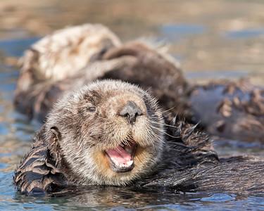 Sea Otter in Morro Bay, Califormia