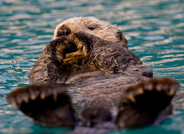 This photograph of a laid back Sea Otter was captured in Prince William Sound in Valdez, Alaska (6/09).  This photograph is protected by the U.S. Copyright Laws and shall not to be downloaded or reproduced by any means without the formal written permission of Ken Conger Photography.