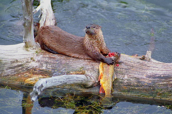 This photograph of an Otter with a freshly caught cutthroat trout was captured in Yellowstone National Park (6/04).  This photograph is protected by the U.S. Copyright Laws and shall not to be downloaded or reproduced by any means without the formal written permission of Ken Conger Photography.