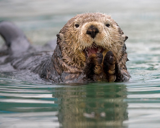 This Sea Otter photograph was captured in Prince William Sound in Valdez, Alaska (6/09).  This photograph is protected by the U.S. Copyright Laws and shall not to be downloaded or reproduced by any means without the formal written permission of Ken Conger Photography.