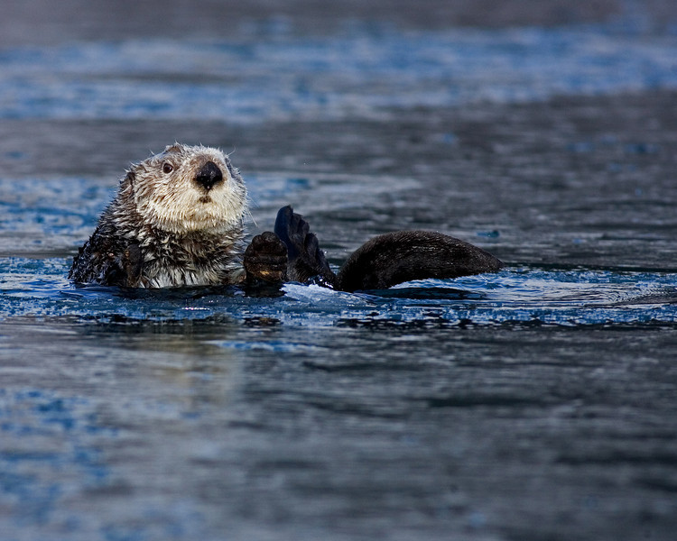 This Sea Otter photograph was captured in Homer, Alaska (3/2008).   This photograph is protected by the U.S. Copyright Laws and shall not to be downloaded or reproduced by any means without the formal written permission of Ken Conger Photography.