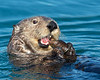 """This photograph of a Sea Otter feeding on a black mussel was captured in Kenai Fjords National Park, Alaska (8/13).   <font color=""""RED""""><h5>This photograph is protected by the U.S. Copyright Laws and shall not to be downloaded or reproduced by any means without the formal written permission of Ken Conger Photography.<font color=""""RED""""></font></h5></font>"""