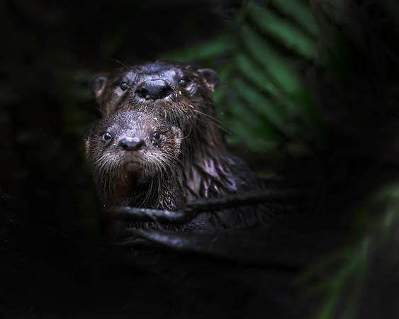 Corkscrew Sanctuary River Otters