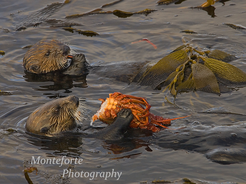 California Sea Otter - Enhydra lutris - with Pup eating a Spiney Lobster, Monterey California