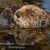 Sea Otter -  Enhydra lutris - in kelp bed.