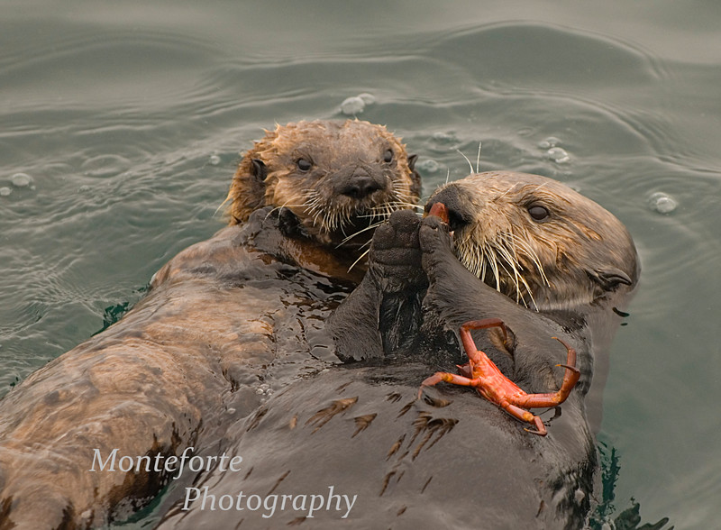 Caliifornia Sea Otter - Enhydra lutris -  at the breakwater in Monterey California eating a crab.