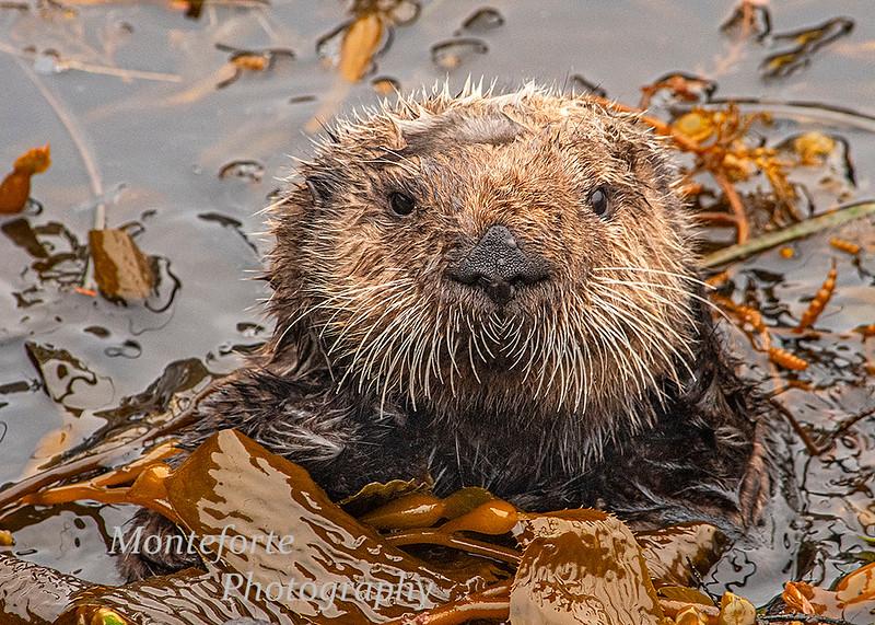 California sea otter Enhydra lutris