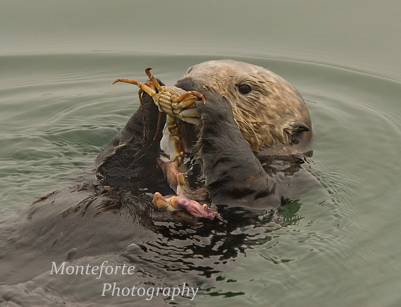 Sea Otter ( Enhydra lutris ) eating crab with two squid on its stomach, Monterey California.