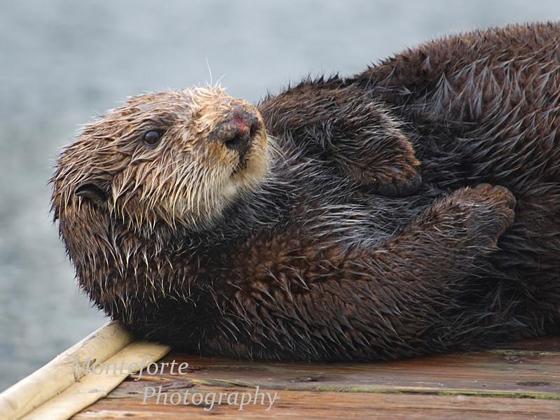 Sea Otter, Enhydra lutris resting on boat dock, Monterey California.