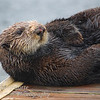 Sea Otter, Enhydra lutris resting on boat dock, Monterey California.