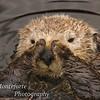 Sea Otter,Enhydra lutris, Monterey California