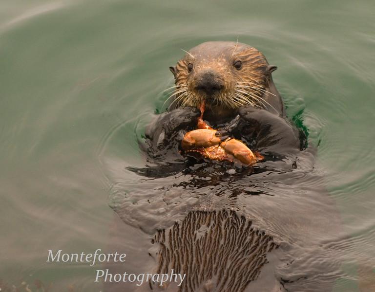 California sea Otter (Enhydra lutris) eating crab.