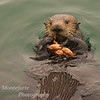 California sea Otter (Enhydra lutris) eating crab.