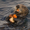 California Sea Otter, Monterey Ca.