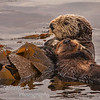 Sea otter Enhydra lutris with new born pup