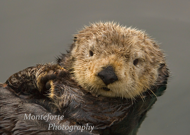 California Sea Otter-Enhydra lutris-Monterey California