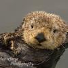 California Sea Otter-Enhydra lutris-Monterey California